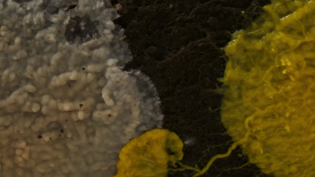 timelapse slime mold (myxogastria) plasmodium advances over fungus on rotting log, uk - decay stock videos & royalty-free footage