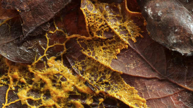 Timelapse slime mold (Myxogastria) plasmodium advances over leaf litter and forms sclerotium, UK