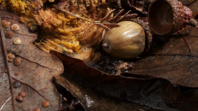 Timelapse slime mold (Myxogastria) plasmodium advances over leaf litter, UK