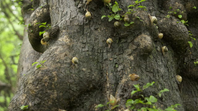 Timelapse snails slither on tree during Khareef monsoon, Oman