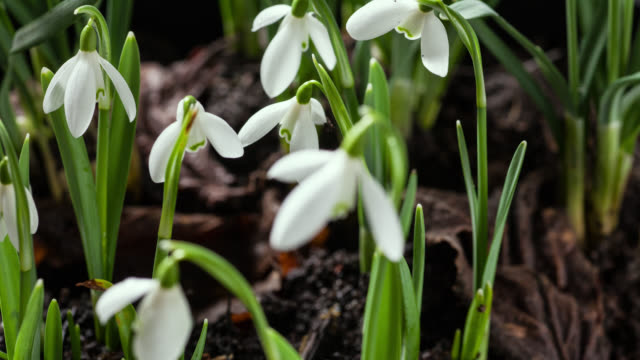 timelapse snowdrop (galanthus nivalis) flowers open in spring, uk - springtime stock videos & royalty-free footage
