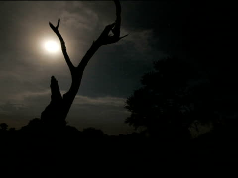 vidéos et rushes de timelapse storm on moonlit night, lightning behind dead tree, kalahari, south africa - s'approcher