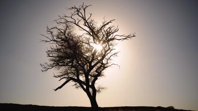 Timelapse sun sets behind tree on grassland, Velavadar, Gujurat, India