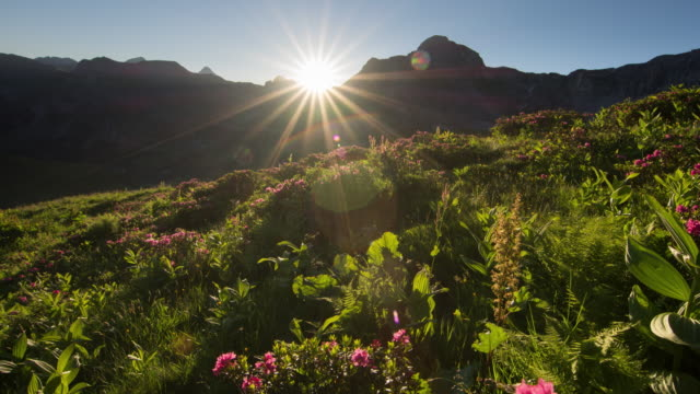timelapse sunrise over alpine roses - alpi video stock e b–roll