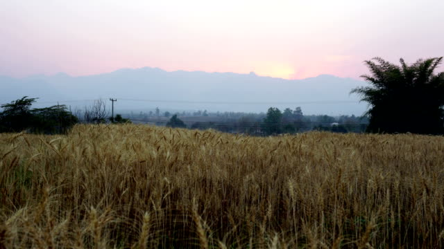 time-lapse sunset at barley rice field - mpeg video format stock videos & royalty-free footage