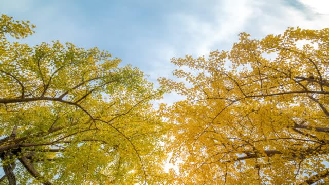 4 k zeitraffer: tokio tachikawa garten mit schönen himmel, apple prores 422 (hq) 3840 x 2160-format - ginkgobaum stock-videos und b-roll-filmmaterial