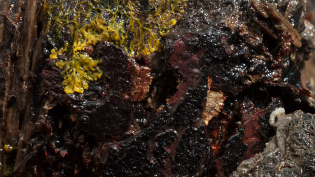 timelapse two slime mold (myxogastria) plasmodia advance on rotting log, uk - decay stock videos & royalty-free footage