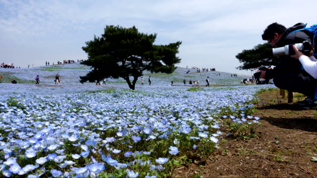 timelapse video of nemophila flower field (baby blue eyes), blue flowers in the garden. - prince stock videos and b-roll footage