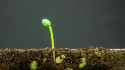 4K Timelapse video of overground view of three soybeans growing from sprouts, shot against a black background.
