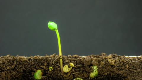 4k timelapse video of overground view of three soybeans growing from sprouts, shot against a black background. - seed stock videos & royalty-free footage
