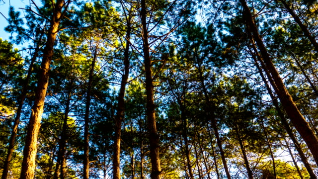 Time-Lapse video: Pine Tree Forest with Morning Sunlight