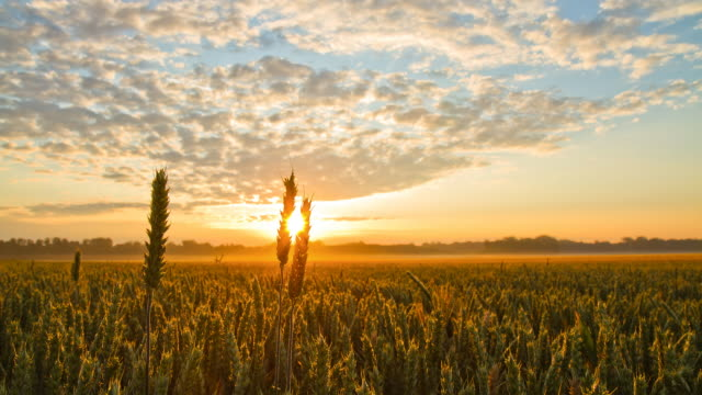 hd time-lapse: wheat field at sunrise - agricultural field stock videos & royalty-free footage