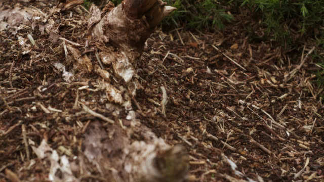 timelapse wood ants (formica rufa) swarm over nest on heath, dorset, uk - ant stock videos and b-roll footage