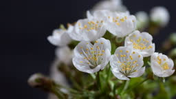 Timelapse zoom of white spring cherry tree blossom open macro close up. Flowers opening in  garden. Time lapse of fresh  blossoming apricot closeup. Blooming backdrop on dark background with zooming