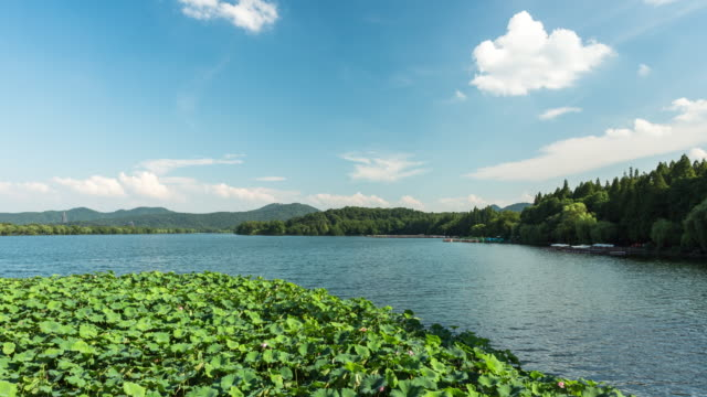 4k time-lapse:a light breeze sways the leaves of sacred lotus plants on the west lake,hangzhou,china - sacred lotus stock videos and b-roll footage