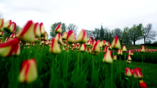 vídeos y material grabado en eventos de stock de time-lapse: festival tulip de ottawa - colina del parlamento ottawa
