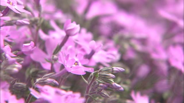 time-lapse shibazakura (moss phlox) - lavender stock videos & royalty-free footage