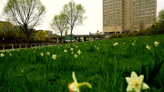 vídeos y material grabado en eventos de stock de lapso de tiempo: mañana de primavera en ottawa, ottawa blooming daffodil. - colina del parlamento ottawa
