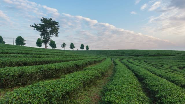 4k time-lapse:the tea plantations background, tea plantations in morning light, move down - tea light stock videos and b-roll footage