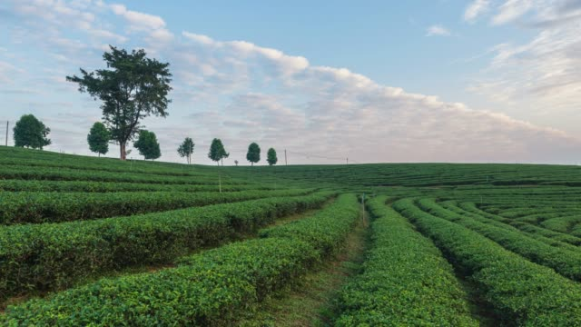 4K Time-lapse:The tea plantations background, Tea plantations in morning light at beautiful, Zoom out