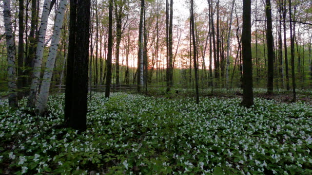 time-lapse:trillium flowers of the canadian national park in the morning - trillium stock videos & royalty-free footage