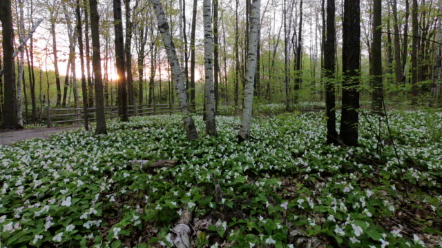 Time-lapse:Trillium flowers of the Canadian National Park in the morning