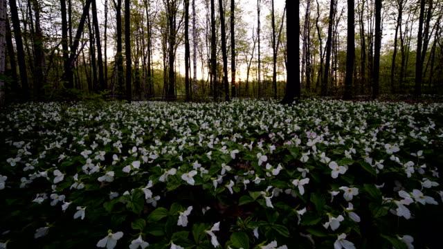 vídeos de stock e filmes b-roll de time-lapse:trillium flowers of the canadian national park in the morning - trílio