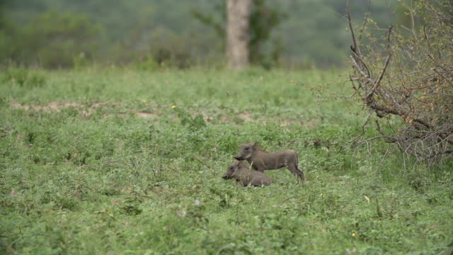 vídeos de stock, filmes e b-roll de tiny baby warthogs scamper to their mother, kruger national park, south africa - javali africano