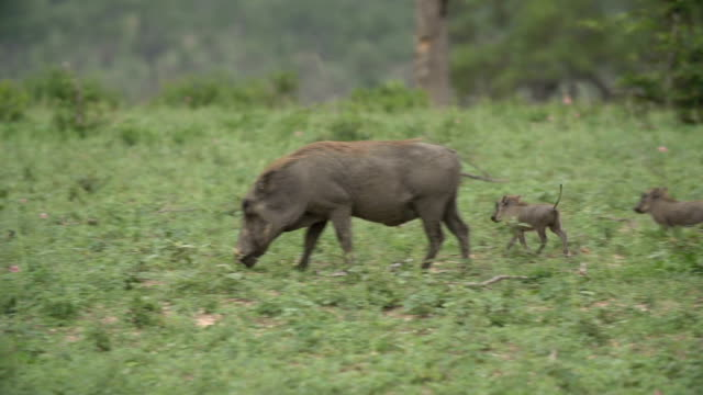 Tiny baby warthogs scamper to their mother, Kruger National Park, South Africa