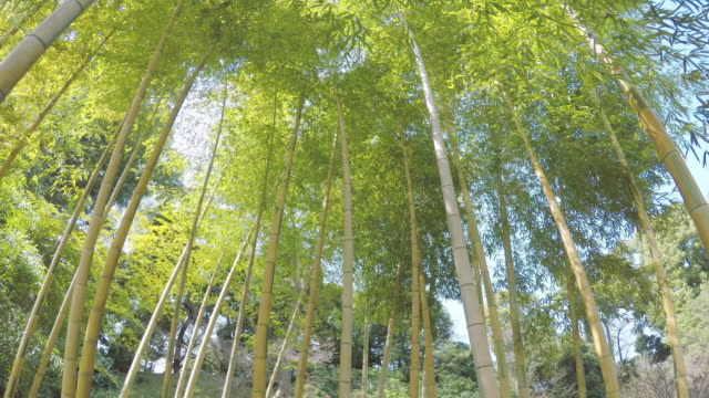 tiny bamboo forest - bamboo plant stock videos and b-roll footage
