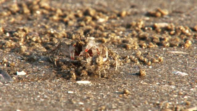 Tiny beach crabs mating