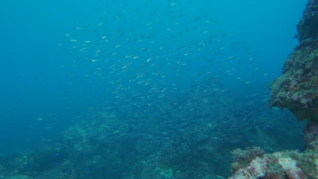 Tiny coral fish schooling in the reef