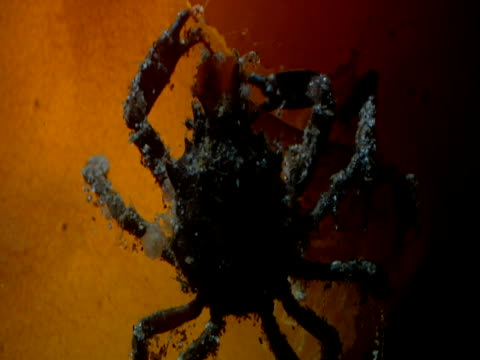 a tiny crab feeds on kelp. - kelp stock-videos und b-roll-filmmaterial