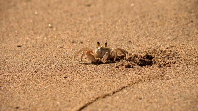 tiny crab on beautiful beach on kauai island - butte rocky outcrop stock videos & royalty-free footage
