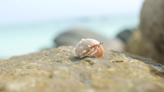 tiny crab walking on rock - seashell stock videos & royalty-free footage