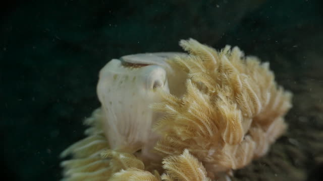 tiny cuttlefish hiding in soft coral, bali, indonesia (4k) - nudibranch stock videos & royalty-free footage