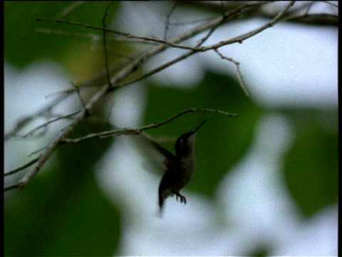 tiny female bee hummingbird collects spider web silk for her nest, cuba - spider web stock videos & royalty-free footage