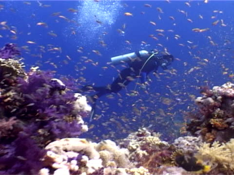 Tiny fish around colourful coral reef, diver moves through water past reef, Ras Mohammed National Park, Red Sea