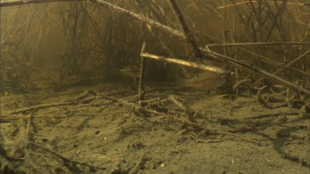 stockvideo's en b-roll-footage met tiny fish dart underwater in a marsh. available in hd. - moeras