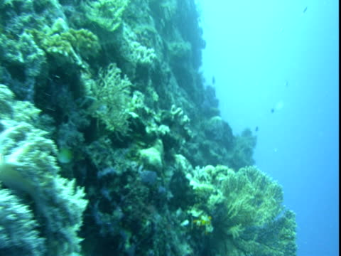 tiny fish forage around a coral reef. - hemitaurichthys polylepis stock videos and b-roll footage