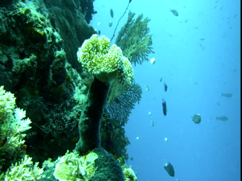 tiny fish forage around a variety of corals. - hemitaurichthys polylepis stock videos and b-roll footage