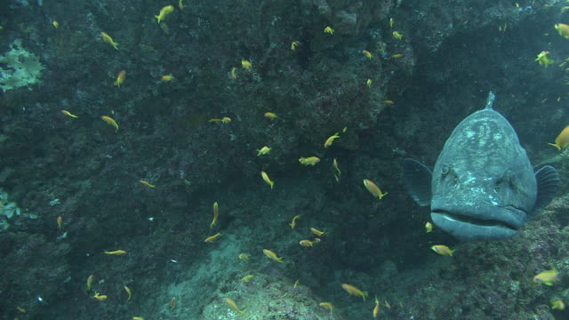 a tiny fish grooms a grouper resting near a coral reef. available in hd. - grouper stock videos & royalty-free footage