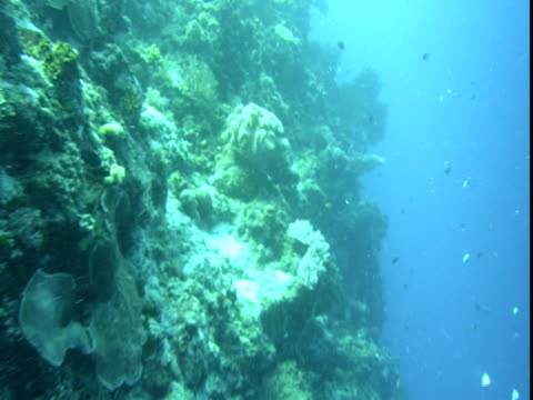 tiny fish swim around a coral shelf. - hemitaurichthys polylepis stock videos and b-roll footage