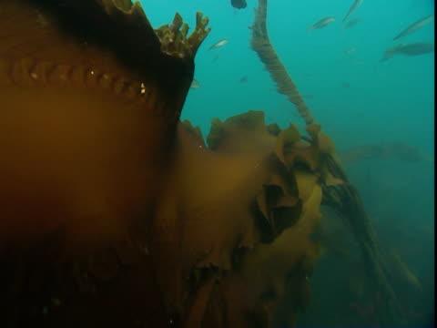 tiny fish swim past a giant, undulating frond of kelp. - kelp stock-videos und b-roll-filmmaterial