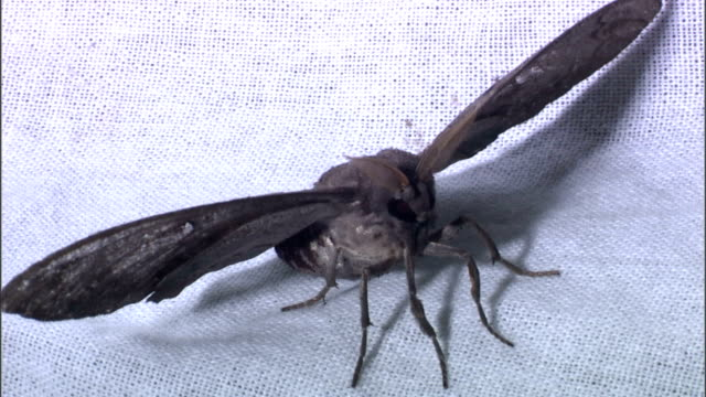 tiny flies crawl beneath the spread wings of a huge moth. - moth stock videos & royalty-free footage