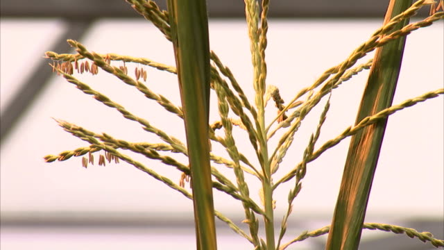 tiny flowers hang from the tassel of a corn plant. - tassel stock videos & royalty-free footage