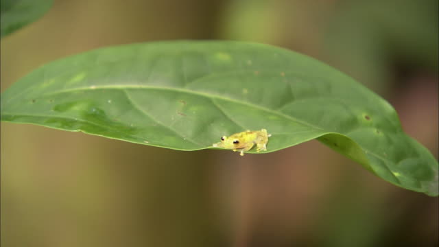 A tiny frog clings to a tropical leaf.