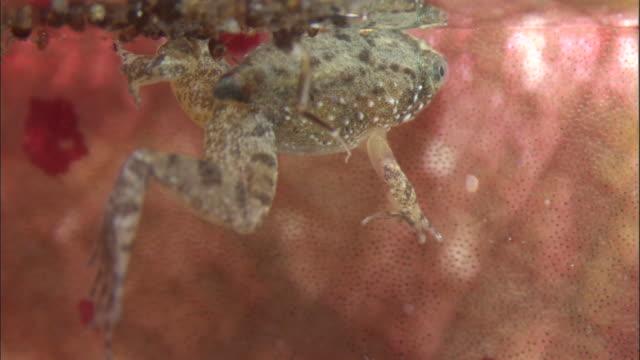 vídeos y material grabado en eventos de stock de tiny frog (microhyla sp.) in pitcher plant urn, borneo - planta pitcher