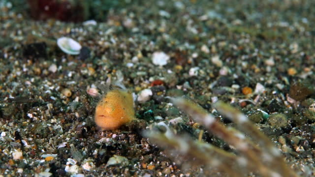 tiny frogfish resting in the sand - close up - batangas province stock videos and b-roll footage