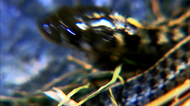 a tiny garter snake opens its jaws. - animal eye stock videos & royalty-free footage
